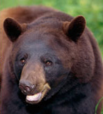 The Hauser Bear Diet Type